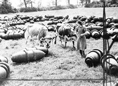 A French dairymaid leads her cows across a meadow filled with R.A.F., 1,000 lb, bombs in Normandy, France in August 1944. These bombs were not fused, they have just been unloaded and will later be stacked. (AP Photo)