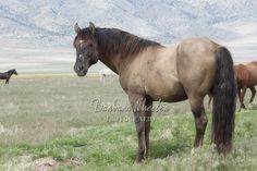 Bucket list Great Basin Desert Wild Horses B158398