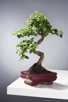 Our growth and development is a unique and sacred journey ~    Bonsai Tree