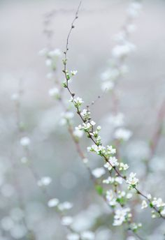 ... white blossoms