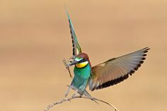 BEe eater. by David Daniel on 500px