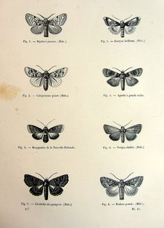 1860 original moths engraving antique insects by LyraNebulaPrints, $24.99