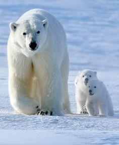 Polar bears                                                                                                                                                                                 More