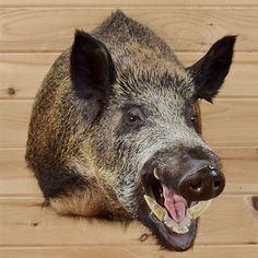 Russian Boar Taxidermy Mount #SW1597 for sale @ Safariworks Taxidermy Sales.