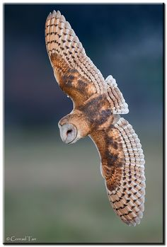 Barn Owl  by Conrad Tan, via 500px