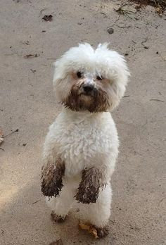 I haven't been digging mum honestly! A slighly muddy bichon :) www.preludebichons.com