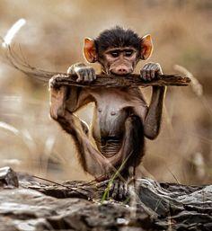 Una cría de babuino sopla en un tronco como si fuera una armónica, Kruger Park, Suráfrica (Charlie Lynam, 2015)