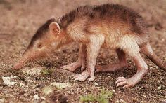 7 Animals You'll Never Believe Are Venomous - The solenodon is a rare venomous mammal commonly explained as an 'insectivorous hairy Yoda (like)' creature. They are the only mammal that can inject venom through specially modified teeth similar to snake fangs. Incidentally, they're also at the top of the world's endangered species list which gives them the right to fear us much more then we have the right to fear them.