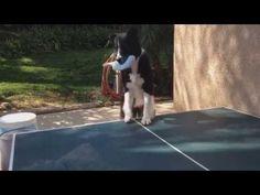 Traffic Power   Dog Plays Ping Pong