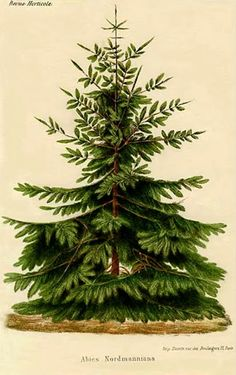 - Nordmann Fir or Caucasian Fir, abies nordmanniana Christmas tree green plants botanical botany wood forest vintage picture jpg - Gardening for beginners and gardening ideas tips kids Noel Christmas, Vintage Christmas Cards, Christmas Images, All Things Christmas, Winter Christmas, Christmas Crafts, Christmas Decorations, Xmas, Yule