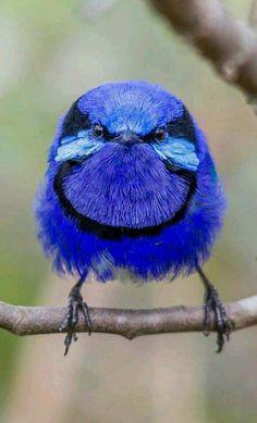 Blue bird - The feisty looking Splendid Fairy-wren (Malurus splendrns) in Australia. - by Terry Booth