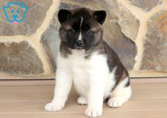 Look at this very friendly and beautiful Akita puppy! She has an amazing spirit about her that will surely make you fall in love. This baby doll loves Akita Puppies For Sale, Baby Puppies For Sale, Cute Dogs, Cute Babies, Puppys, Baby Dolls, Husky, Labrador, Pitbulls