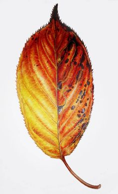 Dianne Sutherland: Thinking About Leaves, more on Vellum Leaf Drawing, Nature Drawing, Plant Drawing, Watercolor Leaves, Floral Watercolor, Watercolor Paintings, Watercolour Pencil Art, Watercolors, Botanical Drawings