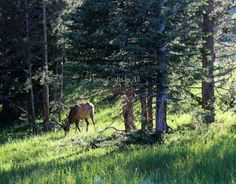Elk at Yellowstone National Park - beautiful scenery and wildlife spots at Yellowstone
