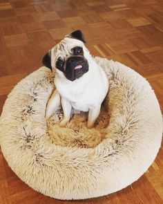 Bertje the Pug -- follow him on instagram @twogirlsandapug