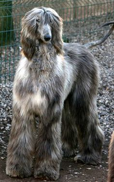 Related image Goofy Dog, Puppies And Kitties, Afghan Hound, Hound Dog, Dogs Of The World, Happy Dogs, Afghans, Animal Kingdom, Kitty