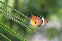 Report Finds #Monsanto's Roundup Directly Responsible for Declining #Monarch #Butterfly Populations http://www.organicauthority.com/report-finds-monsantos-roundup-directly-responsible-for-declining-monarch-butterfly-populations/