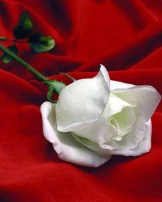 José Marti    Cultivo una rosa blanca  En julio como en enero  Para el amigo sincero  Que me da su mano franca    Y para el cruel que me arranca  El corazón con que vivo  Cardo ni oruga cultivo  cultivo una rosa blanca