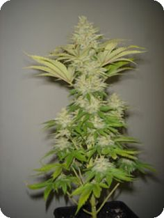 Bubblicious Regular by Resin Seeds is a very stable high-quality cannabis strain. It has the the amazing aroma of the original Bubblegum with a hint of Lavender that creates a real treat for the senses.  Read more: http://www.cannabis-seeds-store.co.uk/regular-seeds/resin-seeds/bubblicious-regular-seeds/prod_668.html#ixzz2zA8aaEba