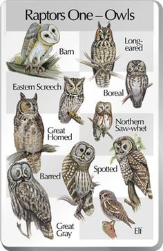 Raptors One (Owls) Barn Owl Eastern Screech Owl Great Horned Owl Barred Owl Great Gray Owl Long-eared Owl Boreal Owl Northern Saw-whet Owl Spotted Owl Elf Owl Please note: This songcard requires a Birdsong Identiflyer ( in order to play songs. Beautiful Owl, Animals Beautiful, Cute Animals, Owl Photos, Owl Pictures, Owl Bird, Pet Birds, Photo Animaliere, Barred Owl