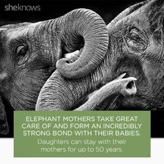 22 Elephant facts that prove they deserve better : Facts that prove elephants are amazing creatures. Elephant Brain, Elephant Eating, Elephant Facts, Elephant Images, Happy Elephant, Wild Elephant, Asian Elephant, Elephant Love, Elephant Stuff