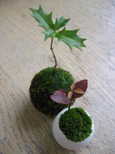 "Kokedama: Kokedama is the Japanese art form of enclosing a plant's root mass in moss. Kokedama means ""moss ball""."