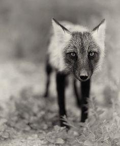 Arctic fox in summer