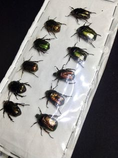 Lot of 11 Cetonia Aurata Insect Taxidermy - dried unmounted - entomology specimen collection - Rose Chaffer Jewel Beetles - Iridescent Wings
