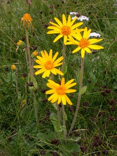 Arnica montana## HOW TO GROW ARNICA MONTANA Direct sow seed as soon as it is ripe in the fall. Sow stored seed in early spring in cold frame, or cold moist stratify for 2-4 weeks before starting indo