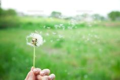 風に流されるたんぽぽの綿毛 風に頼って種を飛ばす植物は一斉に飛ぶので神秘的な景色が広がる