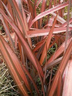 Cordyline zumba landscaping plants simon pinterest phormium evening glow thecheapjerseys Gallery