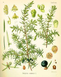Juniper Communis - The juniper tree and berries