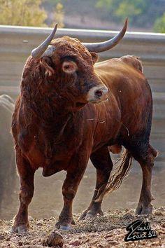 Toro marrón.