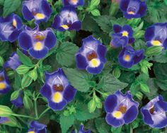 Proven Winners Catalina Midnight Blue Wishbone Flower (Torenia) Live Plant, Blue Flowers with a Yellow Throat, in. - The Home Depot Best Plants For Shade, Shade Plants, Cool Plants, Live Plants, Shade Flowers, Blue Flowers, Hydrangea For Shade, Shade Garden, Garden Plants