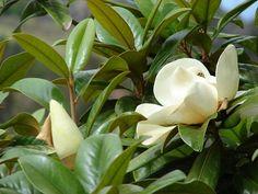 Az örökzöld liliomfa (Magnolia grandiflora) gondozása