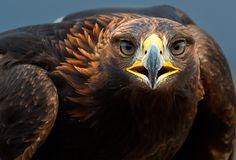 Golden eagle by Daniel Hernanz on 500px