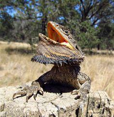 The Bearded Dragon Diet - 7 Top Foods - Exotic Bearded Dragons Terrariums, Terrarium Reptile, Eastern Bearded Dragon, Bearded Dragon Diet, Chinese Water Dragon, Beard Images, Gila Monster, Les Reptiles, Komodo Dragon
