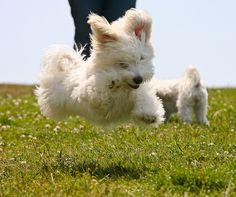 Happy flying puppy. TOO. CUTE. (Havanese Meetup at Alta Vista Park, Sunday, 07/06.) #havanese_bichon #dog #puppy #cute #animal #creature #life #nature