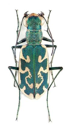 Bernard Durin — Beetles and other Insects Beetle Insect, Beetle Bug, Insect Art, Cool Insects, Bugs And Insects, Cool Bugs, Beautiful Bugs, Tier Fotos, Art Plastique
