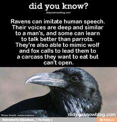 I wanna get a pet raven...