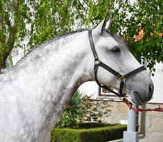 Lusitano stallion.