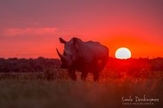 Rhino at sunset in Botswana  by Carole Deschuymere Wildlife  Photography