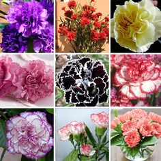 0.41$  Watch now - Hot Selling 16 Colors Available Carnation Seeds Perennial flowers Potted Garden Plants Dianthus Caryophyllus Flower Seed 300 Pcs   #buymethat