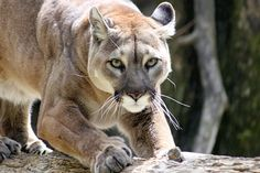 """Mountain lions are solitary animals. They tend to live in remote country and are seldom seen by humans. They hunt their prey by stealth and ambush. Their method of killing is usually with a powerful bite at the base of the skull, breaking the neck. (""""Living with Wildlife in Mountain Lion Country,"""" Colorado Division of Wildlife, Denver, CO) The mountain lion, like the domestic cat with a mouse, will kill for the sake of killing. A lion may kill many more animals in an attack than it can…"""