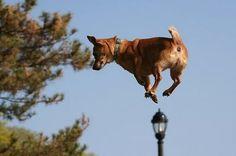 jumping dog  getting a higher vantage point for  sssssquirrels.