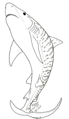 Tiger Shark Coloring Page Shark Worksheets and Learning