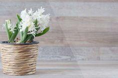 Free Image on Pixabay - Hyacinthus Orientalis, Hyacinth Balcony Plants, Balcony Garden, Indoor Plants, Asparagus Fern, Planting Succulents, Planting Flowers, Bunny Ear Cactus, Consejos Feng Shui, Opuntia Microdasys