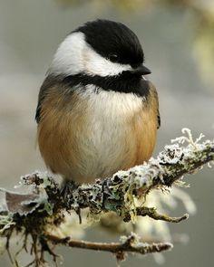 Chickadee, Precious little birds of heaven! Cute Birds, Small Birds, Pretty Birds, Little Birds, Colorful Birds, Beautiful Birds, Animals Beautiful, Cute Animals, Tier Fotos