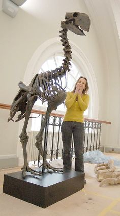 "Diatryma skeleton,one of the so-called ""Terror birds""in a museum Dinosaur Skeleton, Dinosaur Bones, Dinosaur Fossils, Prehistoric Dinosaurs, Prehistoric Creatures, Animal Skeletons, Animal Skulls, Dinosaur Museum, Extinct Animals"