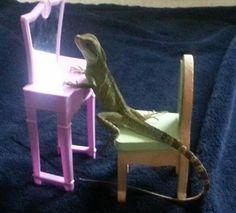 We love our lizard! Lizards, Snakes, Chinese Water Dragon, Reptiles And Amphibians, Barbie Furniture, Adorable Animals, Nifty, Animal Pictures, Jasmine
